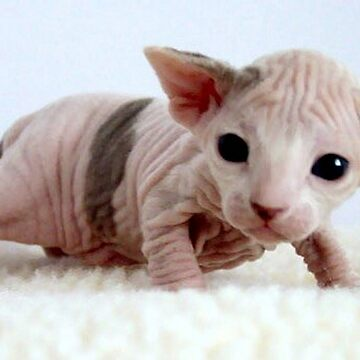 sphynx kitten by marasdaughter