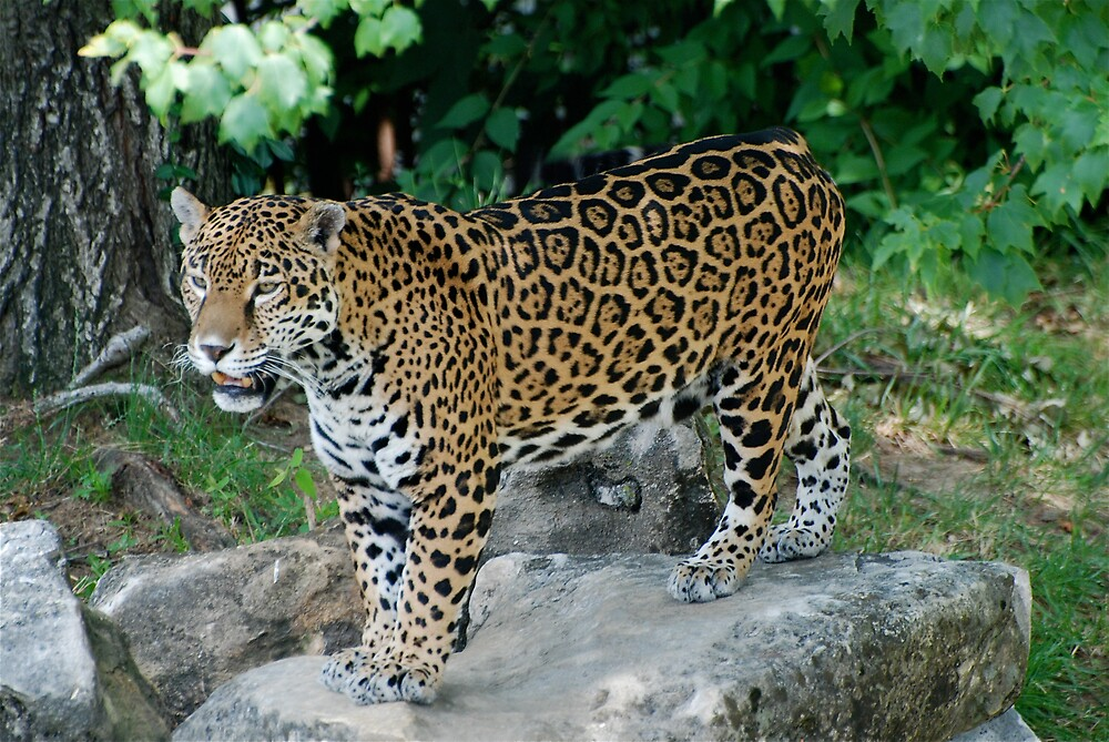 Showing off the new Jaguar by Jim Caldwell