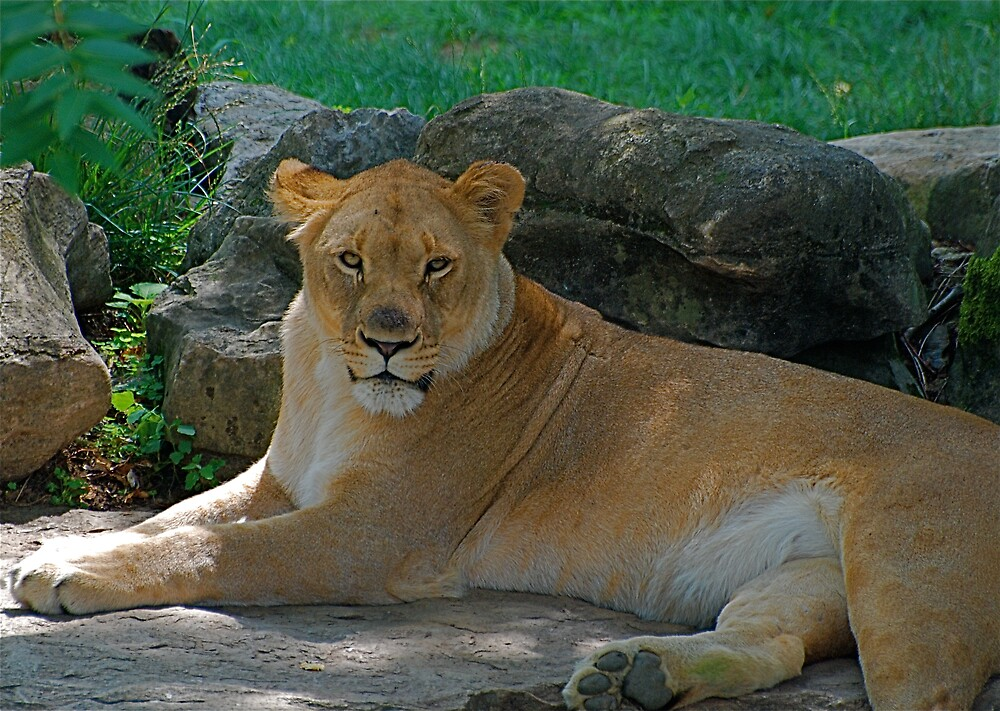 Just Lion around by Jim Caldwell