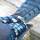 Blue Jay Feathers... Abstract by Danielle Loscig