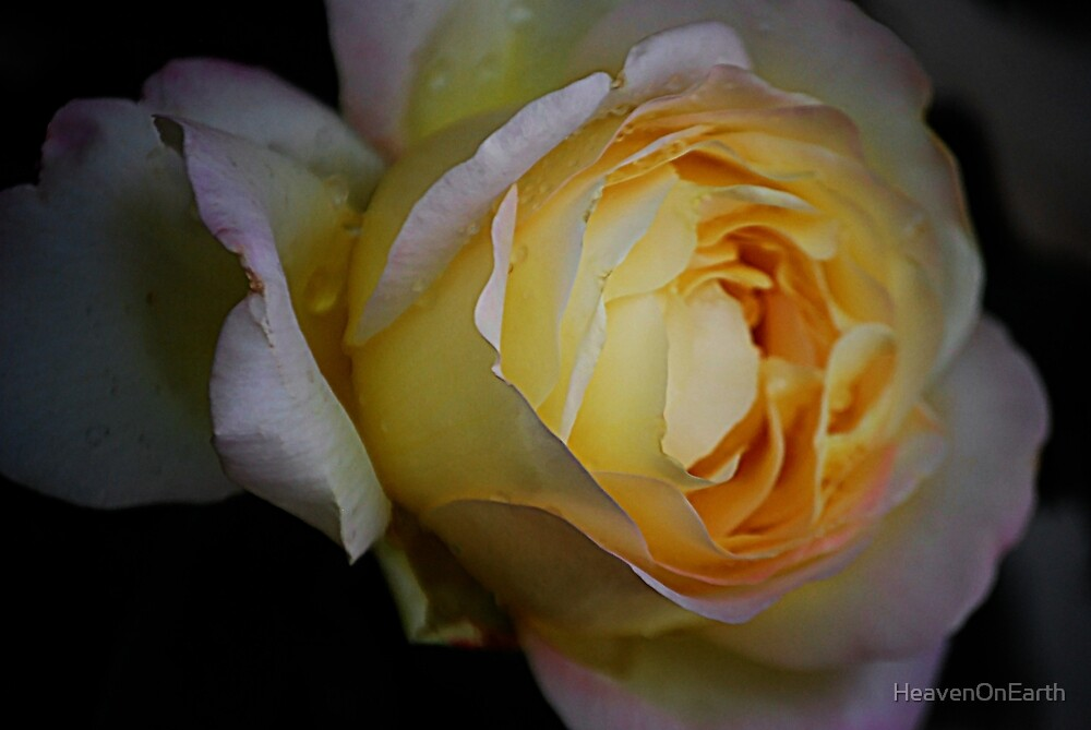 The Beautiful Rose by HeavenOnEarth