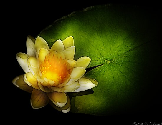 Nymphaea  Chromatella - Yellow Lilly by Mike  Savad
