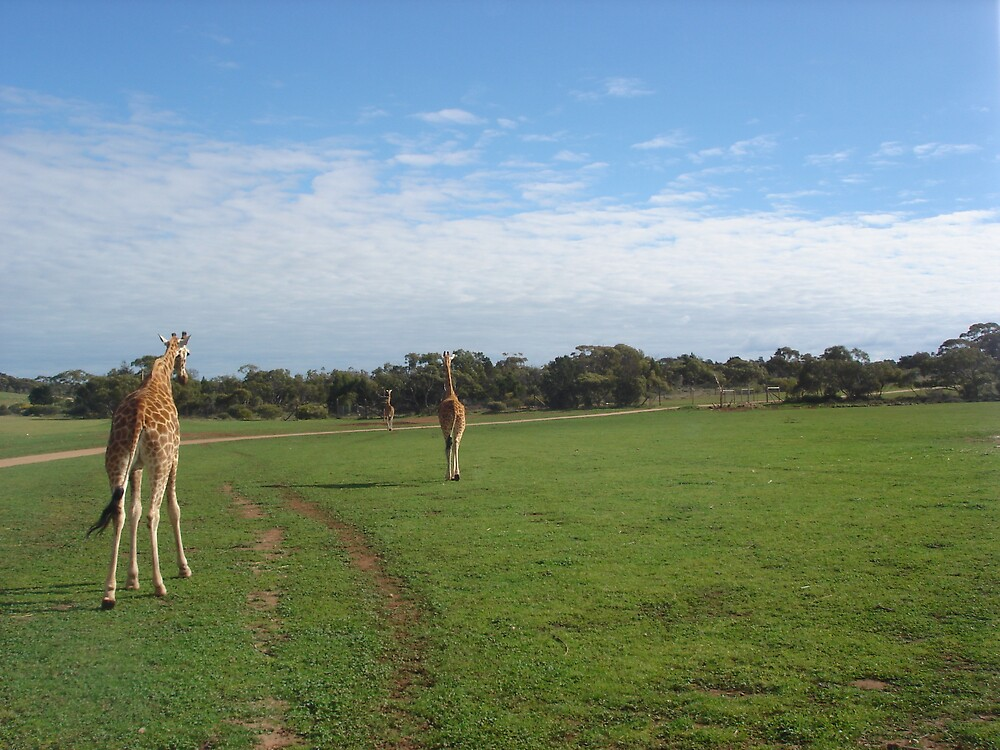 Giraffes. by MaddyPaddy