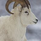 Dall Sheep In Profile by akaurora