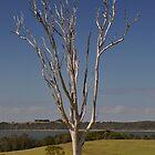 Bare Tree, Near Tuross Heads,Australia 2017 by muz2142