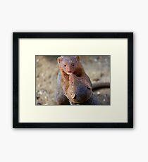 Mongoose wrestling.......   Framed Print
