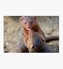 Mongoose wrestling.......   Photographic Print
