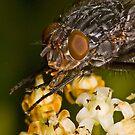 Fly eating nectar by Frank Yuwono