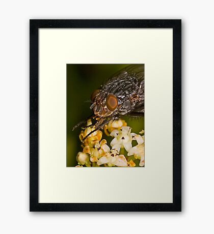 Fly eating nectar Framed Print