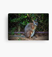 Red Necked Wallaby Canvas Print
