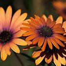 Beautiful African Daisy Zion Red Flowering by Joy Watson