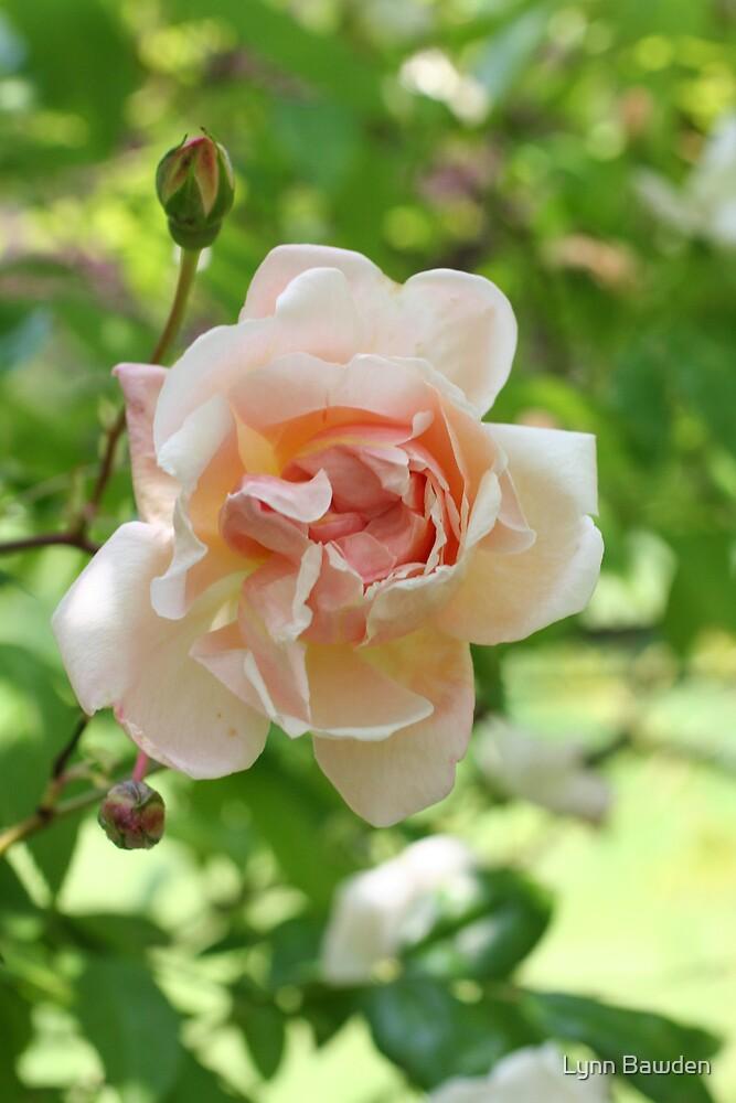"""A Delicate Rose"" by Lynn Bawden"