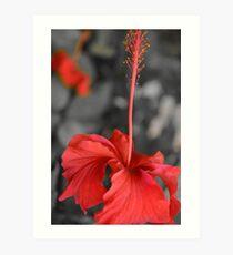 Peach Hibiscus (flower) Art Print