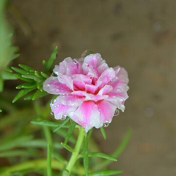 Pink Portulaca grandiflora after rain by mubesher