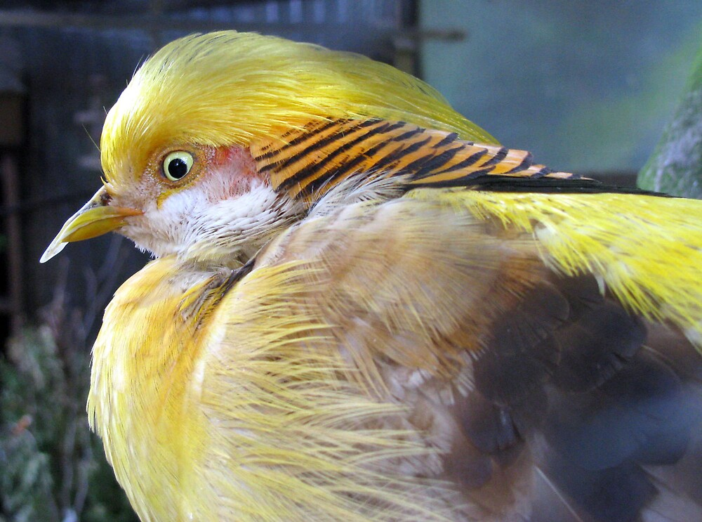 golden pheasant by Caroline Anderson