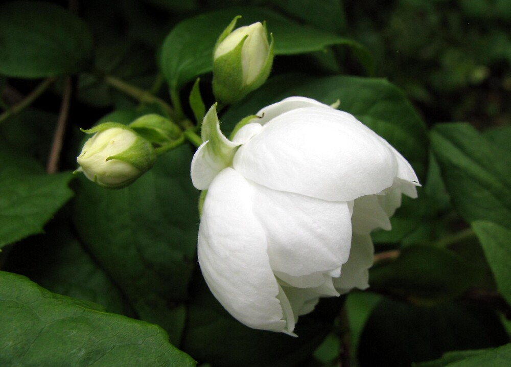 white rose by Caroline Anderson