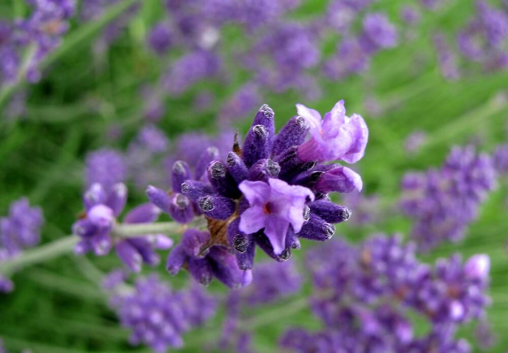 lavender by Caroline Anderson