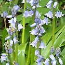 Blue Bells by davesphotographics