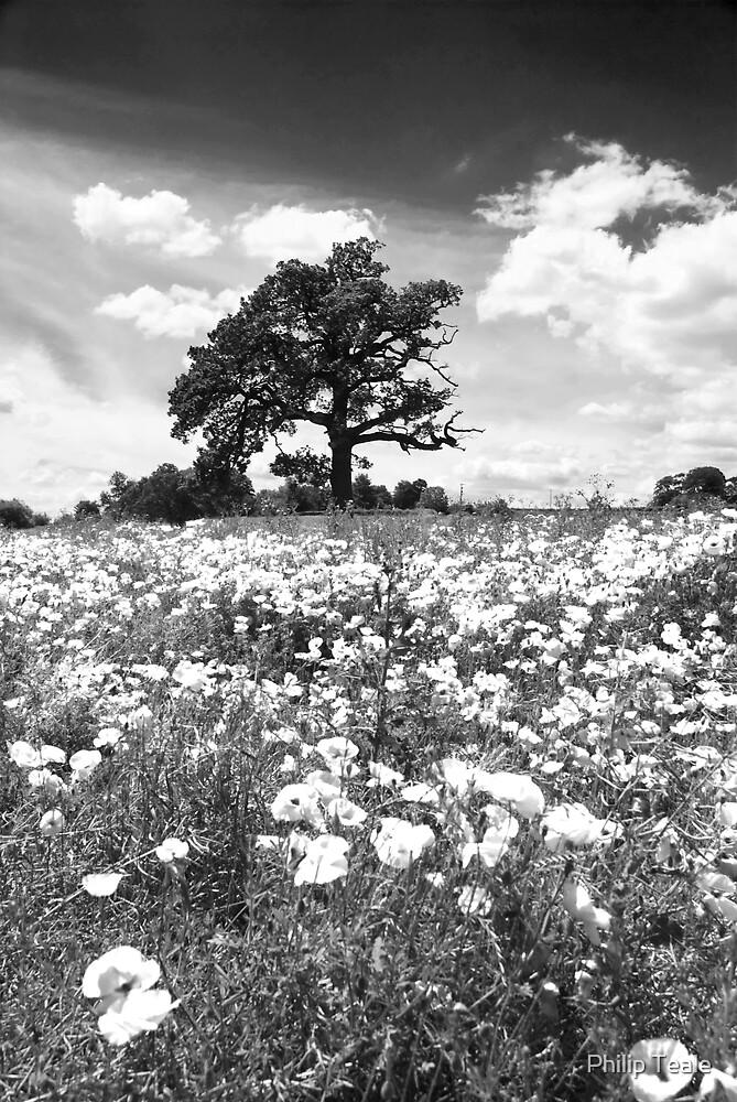 Poppy Field by Philip Teale