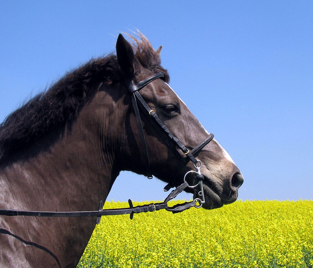 horse and rapeseed  by Caroline Anderson