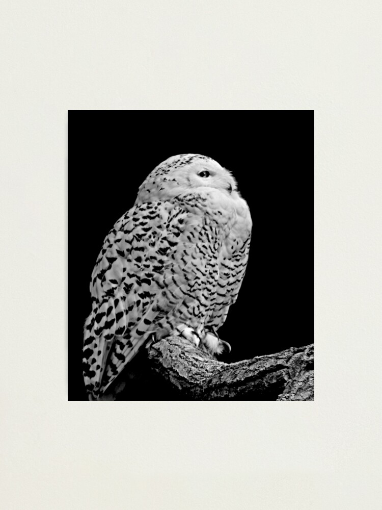 Alternate view of Snowy Owl Photographic Print
