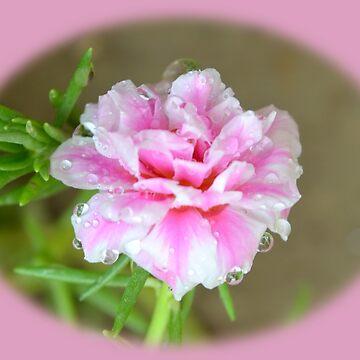 Pink Portulaca grandiflora round shape by mubesher