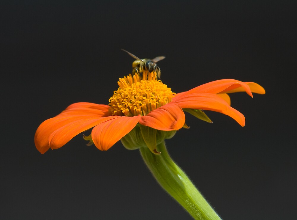 Orange Flower with Bee by Krys Squires