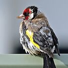 European Goldfinch - 378 by Emmy Silvius