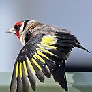 European Goldfinch - 401 by Emmy Silvius