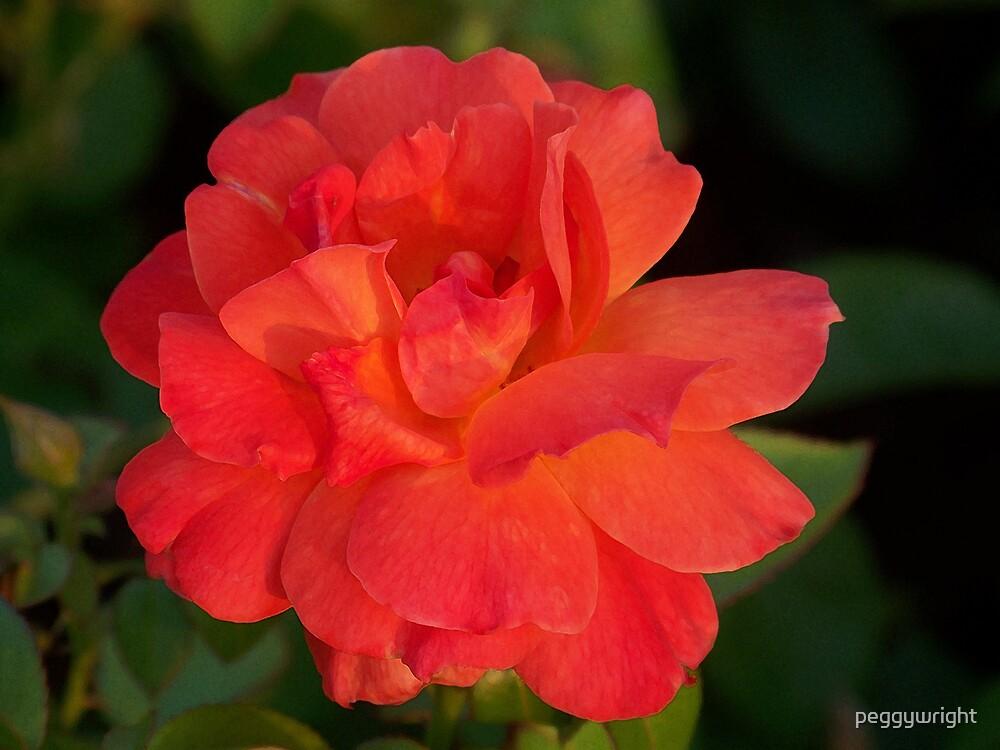 Orange Rose by peggywright