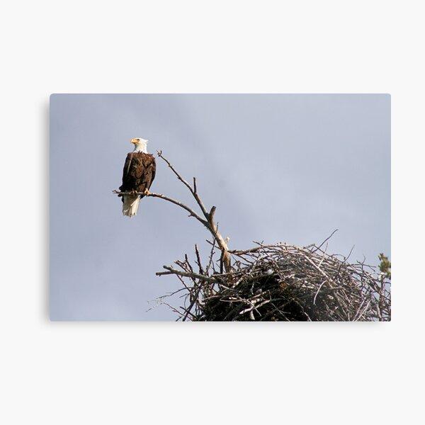 Bald Eagle Surveying Yellowstone National Park Metal Print