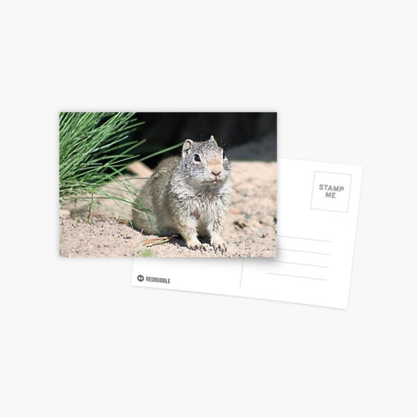 Crouching Prairie Dog Postcard