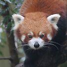 Red Panda by Amy Trebilco