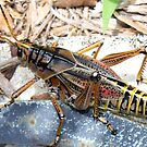 That's One Big Grasshopper! by AuntDot