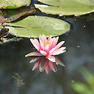 Water lily, Giverny, France by Elena Skvortsova