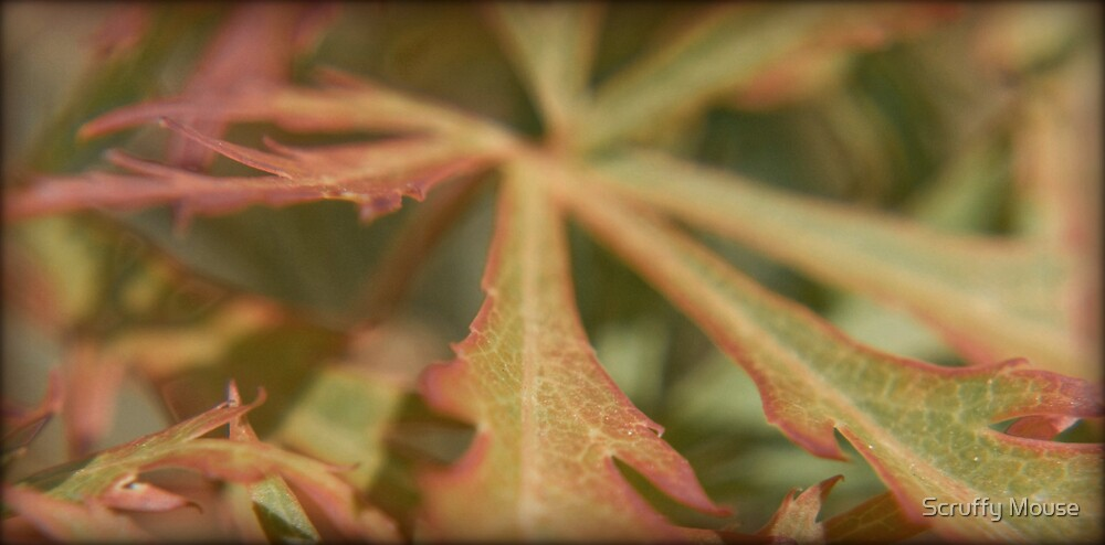 Acer by Scruffy Mouse