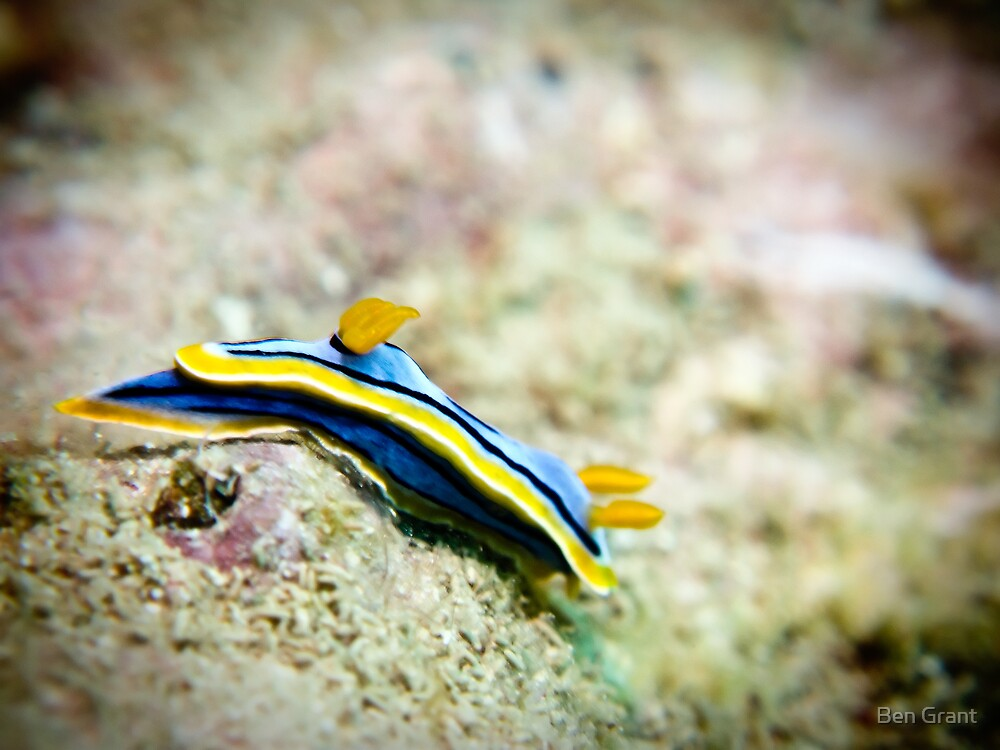 Chromodoris elisabethina by Ben Grant