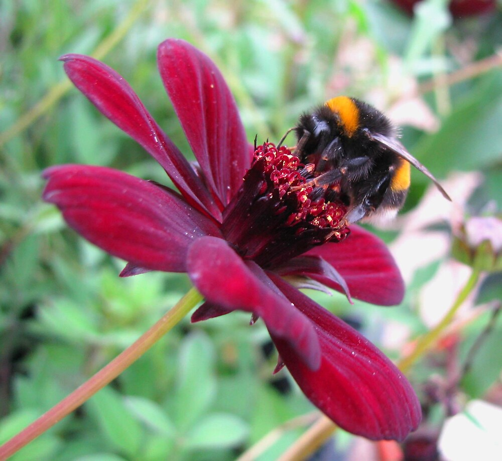 chocolate cosmos and bee by Caroline Anderson