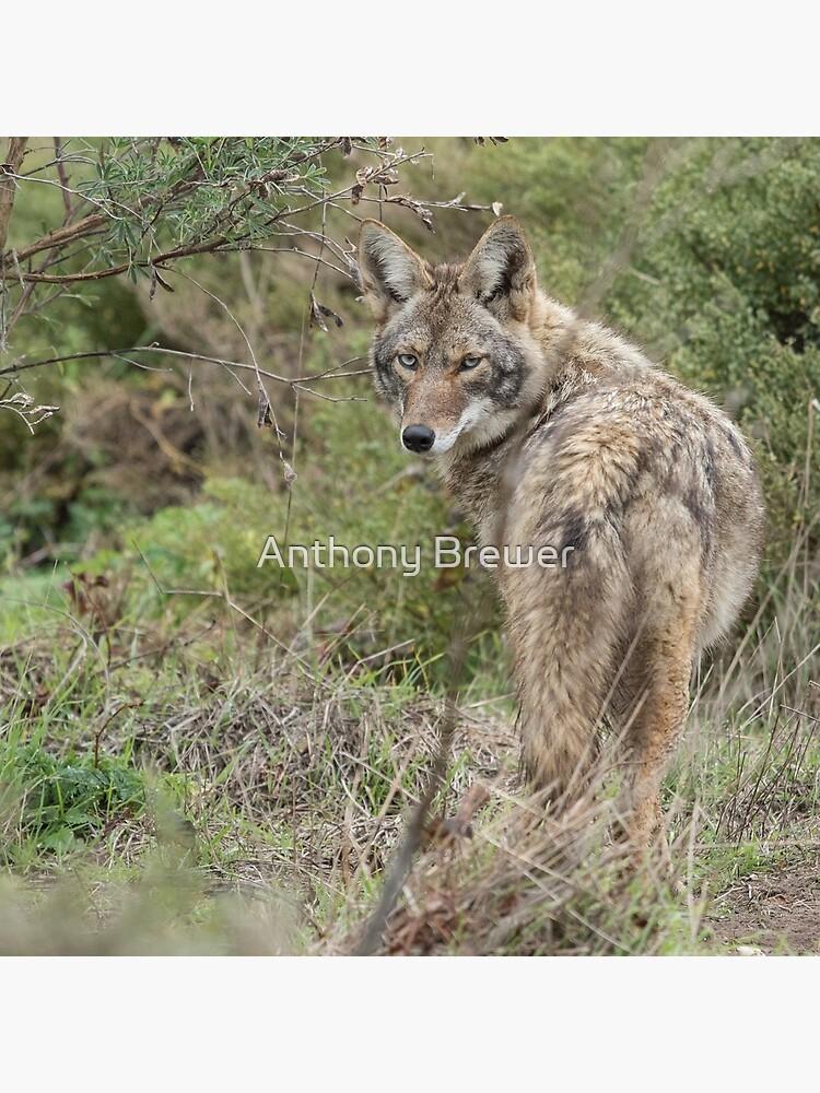 Wandering coyote by dailyanimals