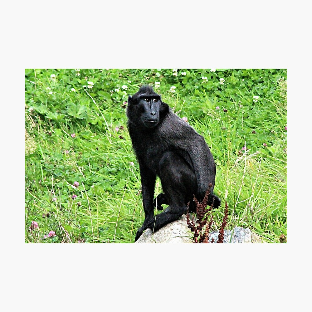 Sulawesi Macaque Photographic Print