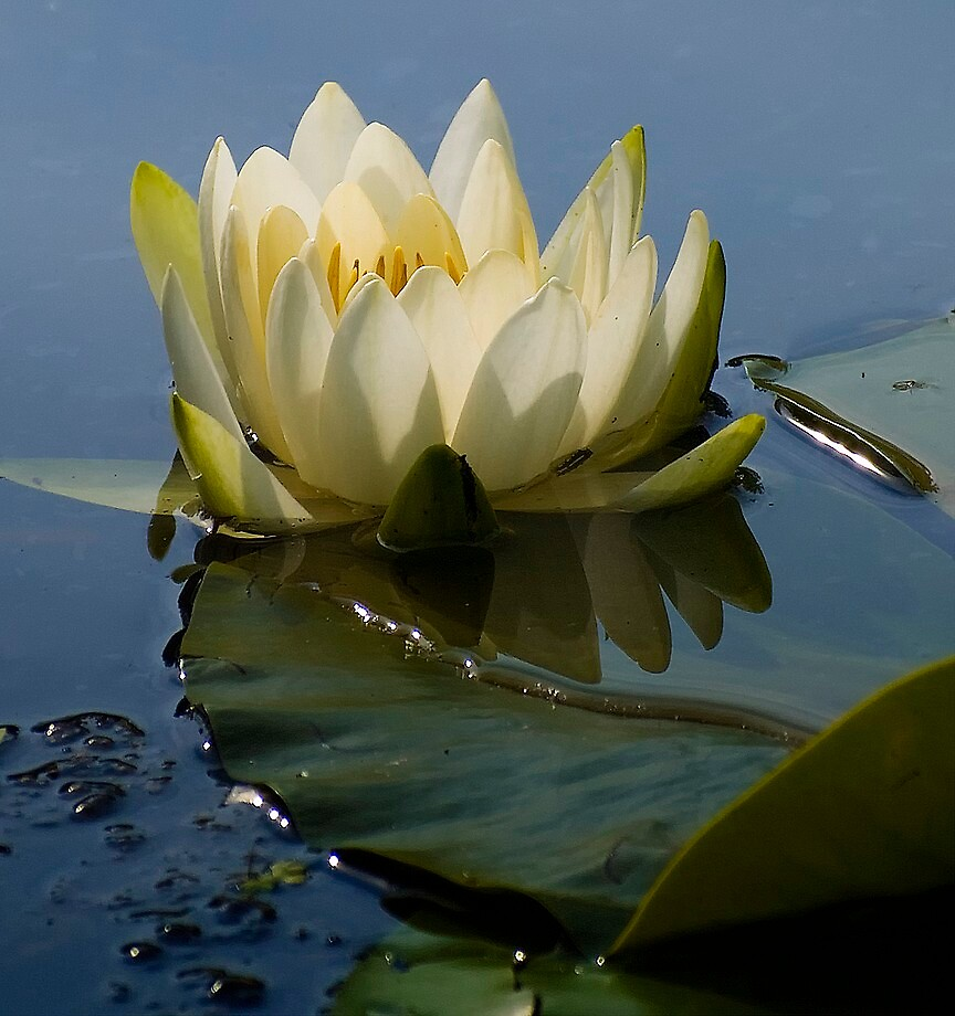 Water lily by BrigitteC