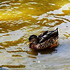 Duck swimming in golden water by Anna Lemos