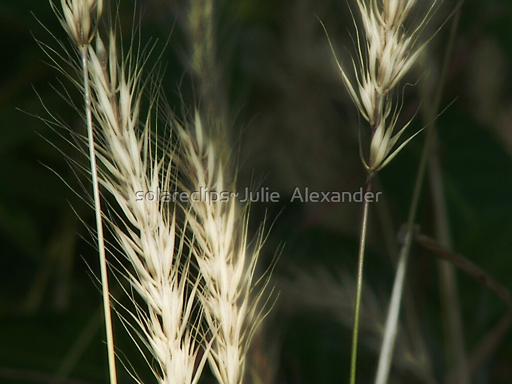 White or wheat?? by solareclips~Julie  Alexander