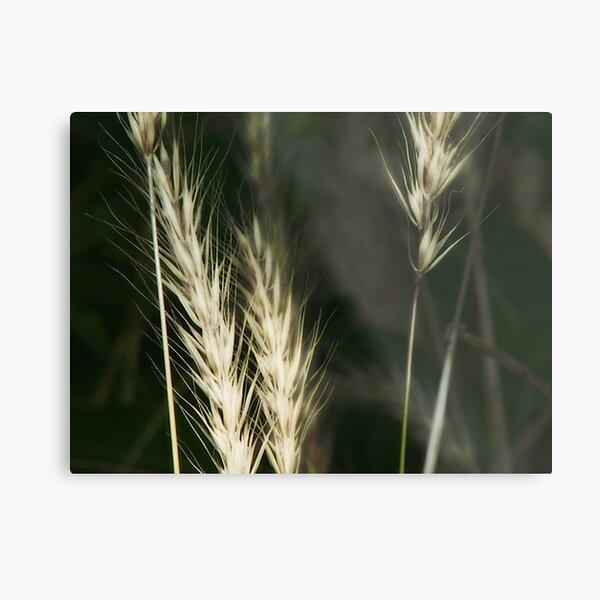 White or wheat?? Metal Print