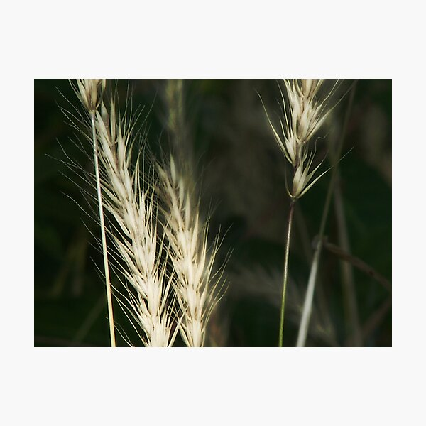 White or wheat?? Photographic Print