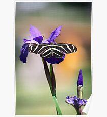 Zebra Longwing on Iris  Poster