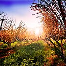 Vines at Fess Parker Winery by HeavenOnEarth