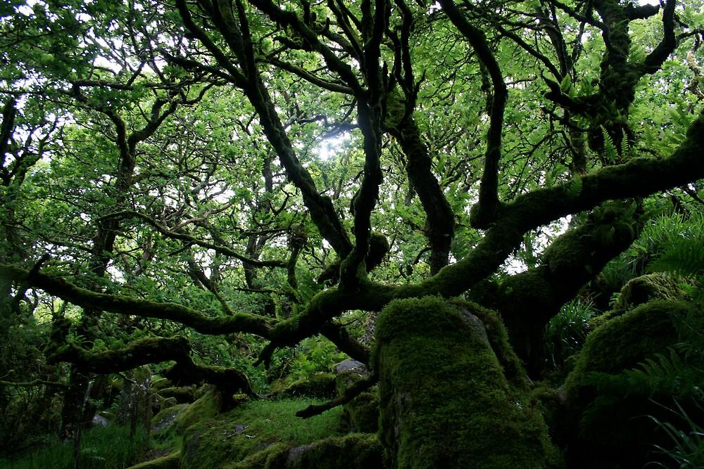 Ancient Oak woodland by Amanda Gazidis