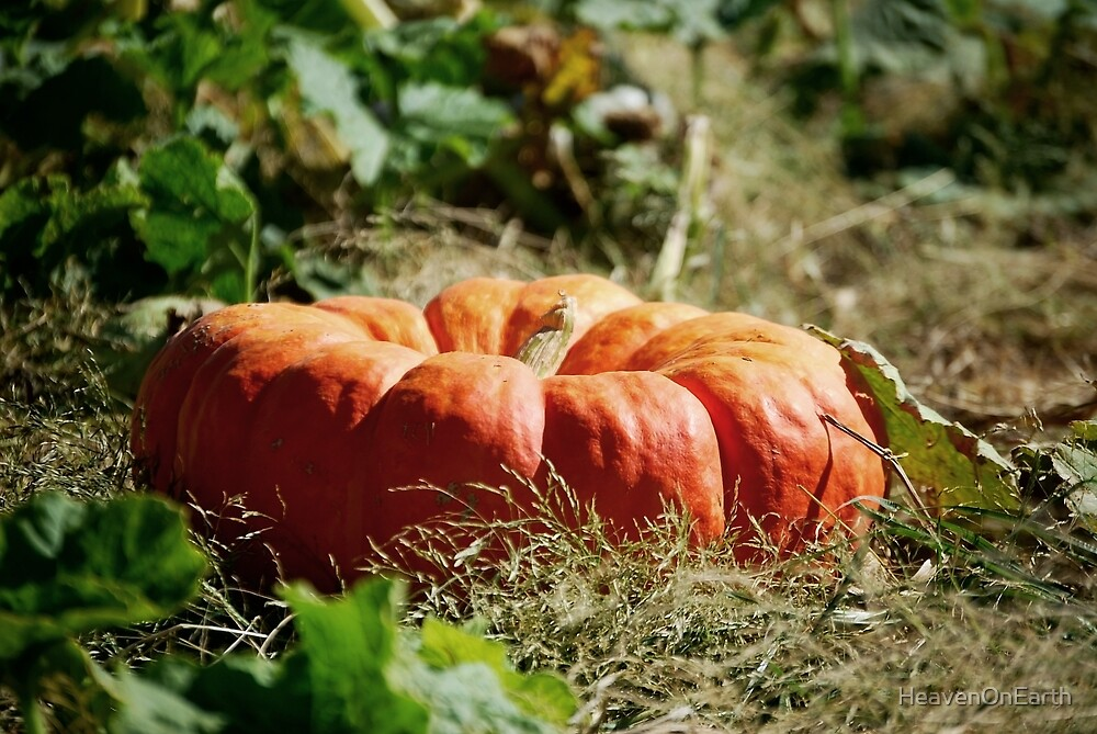 In the Pumpkin Patch by HeavenOnEarth
