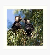 He and She Carnaby's Cockatoos Art Print